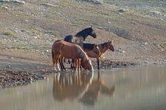 Petits bande/troupeau de chevaux sauvages buvant au point d'eau dans la chaîne de cheval sauvage de montagnes de Pryor au Montana Photos libres de droits