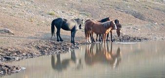 Petits bande/troupeau de chevaux sauvages buvant au point d'eau dans la chaîne de cheval sauvage de montagnes de Pryor au Montana Photos stock