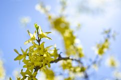 Petits bourgeon floraux jaunes des arbres Image libre de droits
