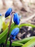 Petits bourgeons bleus des jacinthes des bois images stock