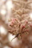 Petits boutons de rose roses des tamaris au printemps Images libres de droits