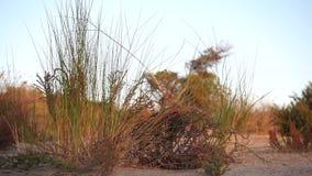 Petits buissons verts et jaunes au-dessus de la terre arénacée et du soufflement aride dans un vent mou banque de vidéos