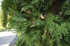 Petits cônes bruns sur a photographie stock libre de droits