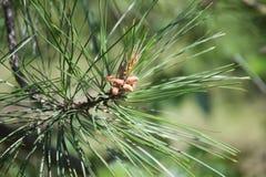 Petits cônes de pin Photo libre de droits