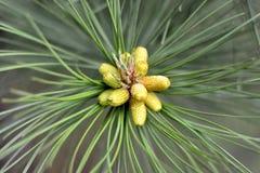 Petits cônes verts sur le plan rapproché d'arbre de sapin, macro Le printemps… a monté des feuilles, fond naturel Photographie stock libre de droits