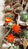 Petits cactus de floraison dans Sofia Botanical Garden image stock