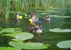 Petits canards images libres de droits