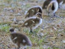 Petits canards Photo libre de droits