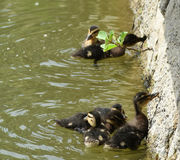 Petits canards images stock