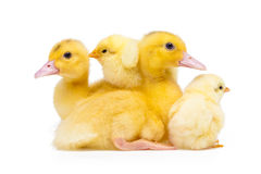 Petits canards et poulets Photo libre de droits