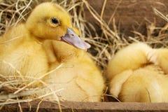 Petits canards pelucheux jaunes sur le foin Photos stock