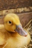 Petits canards pelucheux jaunes sur le foin avec les caisses en bois Image stock