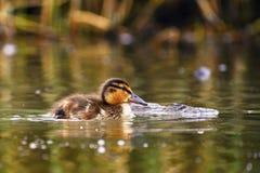 Petits canards sur un étang Canards de débutants et x28 ; Platyrhynchos& x29 d'ana ; Image stock