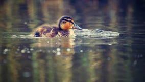 Petits canards sur un étang Canards de débutants et x28 ; Platyrhynchos& x29 d'ana ; Images stock