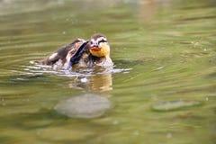 Petits canards sur un étang Canards de débutants et x28 ; Platyrhynchos& x29 d'ana ; Photos libres de droits