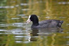 Petits canards sur un étang Canards de débutants et x28 ; Platyrhynchos& x29 d'ana ; Photo stock