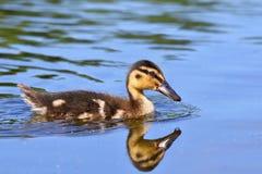 Petits canards sur un étang Canards de débutants (Platyrhynchos d'ana) Image libre de droits