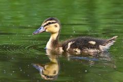 Petits canards sur un étang Canards de débutants (Platyrhynchos d'ana) Photographie stock libre de droits