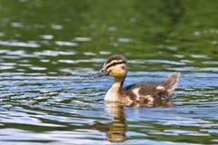 Petits canards sur un étang Canards de débutants (Platyrhynchos d'ana) Photos stock