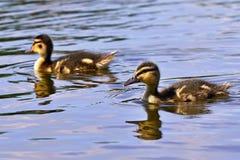 Petits canards sur un étang Canards de débutants (Platyrhynchos d'ana) Photo libre de droits