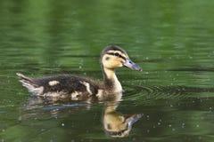 Petits canards sur un étang Canards de débutants (Platyrhynchos d'ana) Photo stock