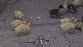 Petits canetons jaunes à la ferme clips vidéos