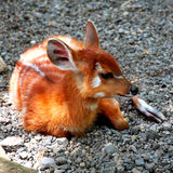 Petits cerfs communs Photo stock
