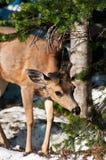 Petits cerfs communs dans la forêt de neige Image stock