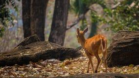 Petits cerfs communs dans le zoo de Korat, Thaïlande Photo stock
