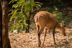 Petits cerfs communs dans le zoo de Korat, Thaïlande Images stock