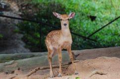 Petits cerfs communs dans le zoo, plan rapproché Image libre de droits