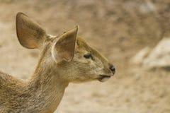 Petits cerfs communs dans une cage Images stock