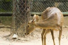 Petits cerfs communs dans une cage Photographie stock libre de droits