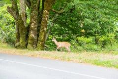 Petits cerfs communs sur la route de campagne photos libres de droits