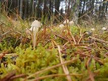 Petits champignons blancs Image libre de droits