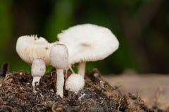 Petits champignons blancs dans la saison des pluies Photos stock