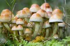 Petits champignons de couche Images stock