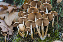 Petits champignons de couche Images libres de droits