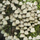 Petits champignons de couche Photographie stock libre de droits