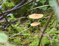 Petits champignons de couche dans le feuillage vert Image libre de droits