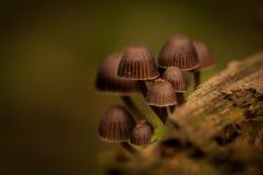 Petits champignons de couche de Brown Image stock