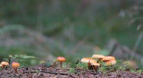 Petits champignons de couche oranges Photo libre de droits