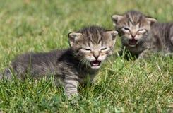 Petits chatons jouant sur la pelouse Photos libres de droits
