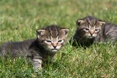 Petits chatons jouant sur la pelouse Image libre de droits