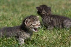 Petits chatons jouant sur la pelouse Image stock