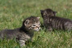 Petits chatons jouant sur la pelouse Images stock