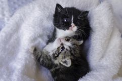 Petits chatons se blottissant dans les couvertures Photo stock