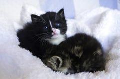 Petits chatons se blottissant dans les couvertures Images stock