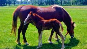Petits cheval et mère Photographie stock libre de droits