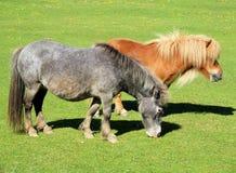 Petits chevaux image stock